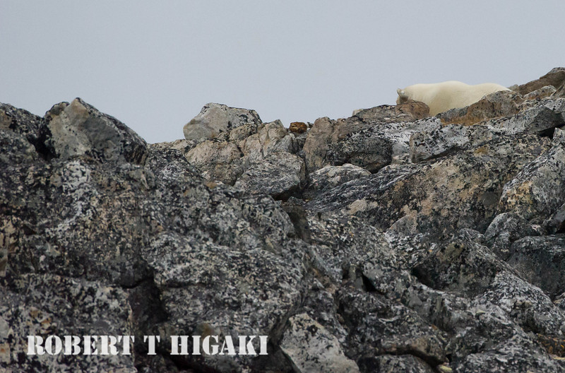 Look closely- this bear has an ear tag! Polar bear number one. What is really amazing about this shot is that I was hand holding a 600mm/f4 lens in a zodiac and was still nursing a rotator cuff injury I had in April.