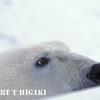 polar bear sees food( the other photographer)