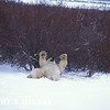 polar bear- fooling around( willows in the background)