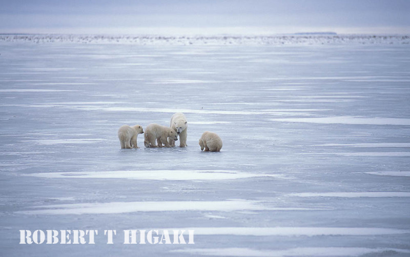Nope- not triplets. one cub got very confuseed(far left ) but eventually reunited with real Mom