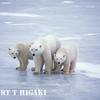 Mom with two cubs- that is good sign. Meaning- if mother to be does not have enough fat reserves, she may have only one or none.