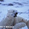 polar bear-12