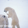 polar bear-28