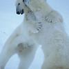 polarbear-34