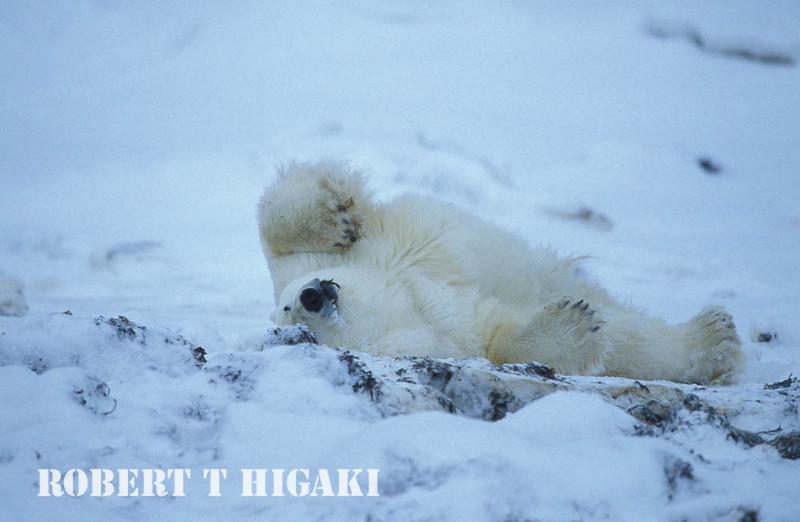 polar bear-35