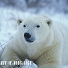 polar bear-3