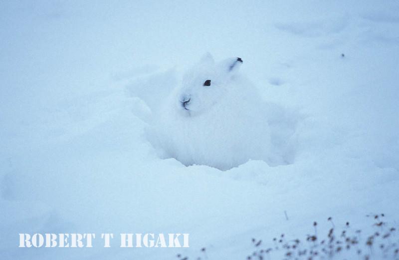 Arctic Hare( same one)
