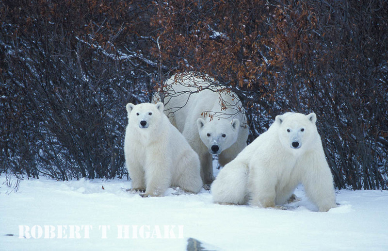 Mom and cubs in front of the willows
