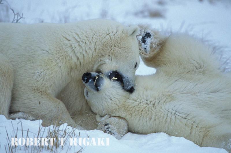 polar bear-39