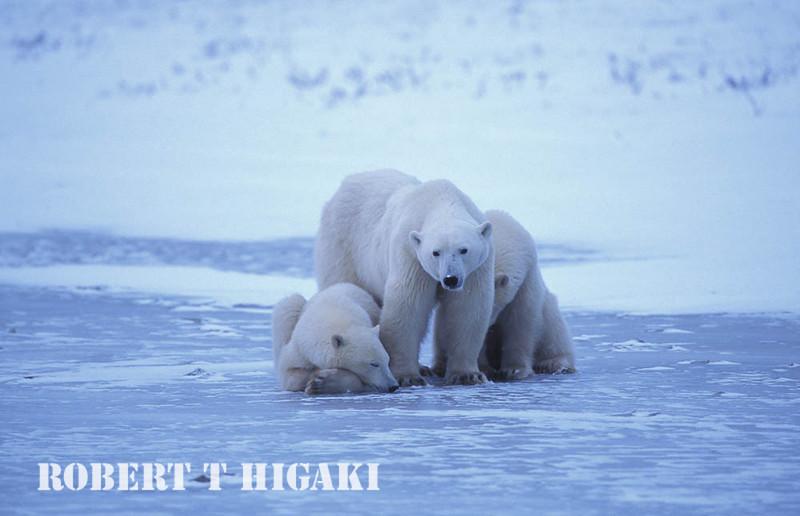 polar bear-16