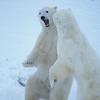 polarbear-8