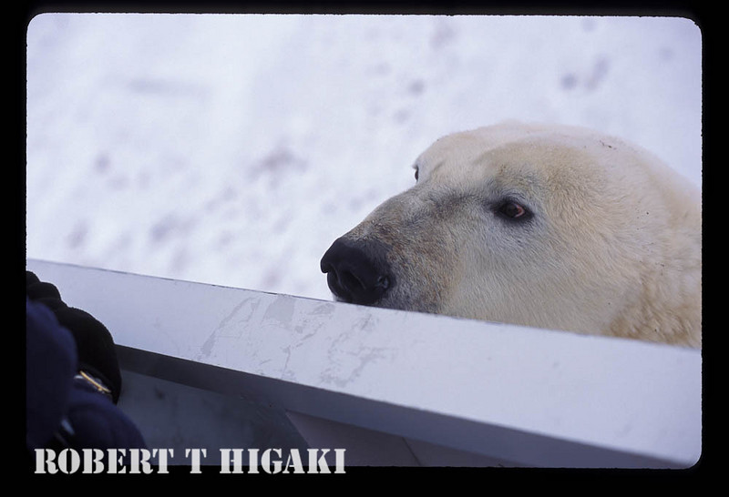 polar bear sees another potential food source.( this one looked mean)