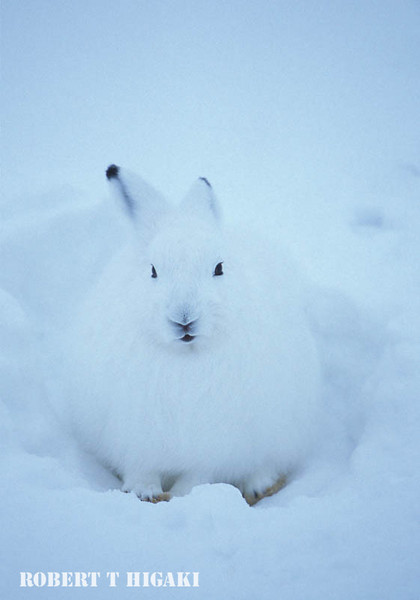 Arctic  Hare( fat one or very thick coat)