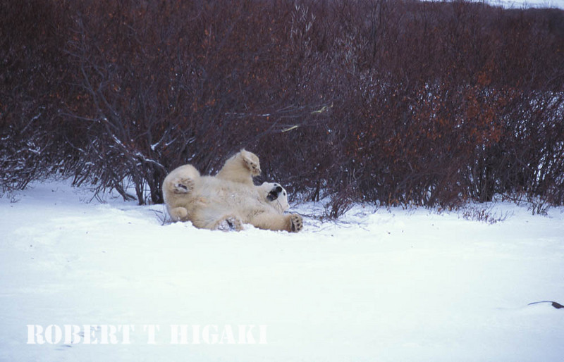 polar bear having fun by itself( willows in the background)