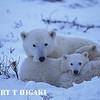 polar bear-13