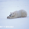polar bear-10