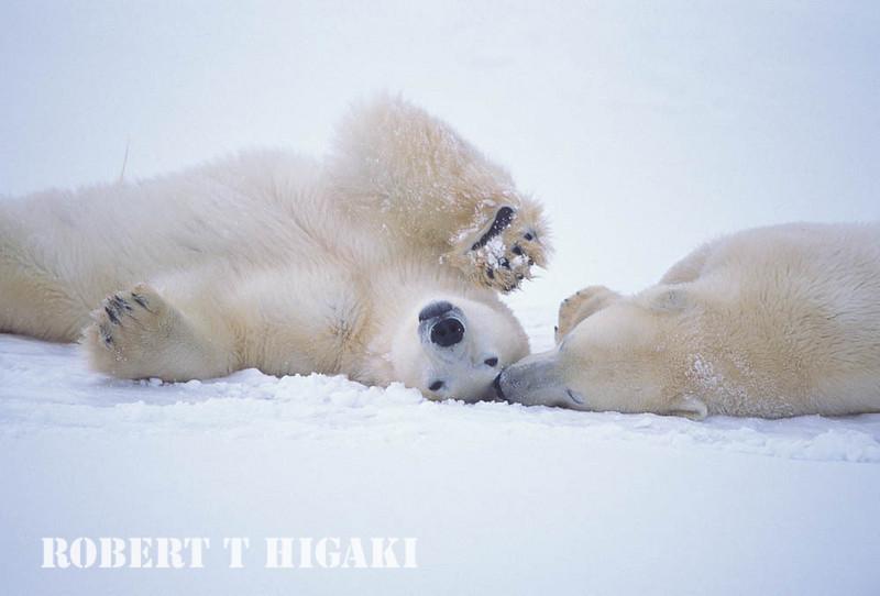 polar bear-7