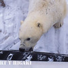 polar bear biting the tire. Either, he is very hungry or pissed off at us( or both).