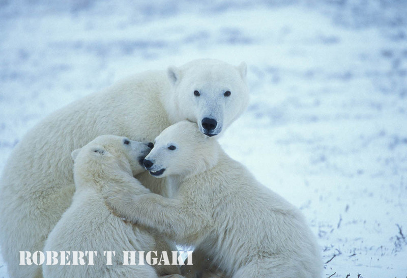 Mother with first year cubs