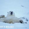 polar bear-27