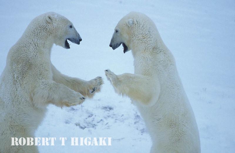 polar bear-33