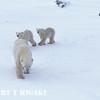 polar bear-4