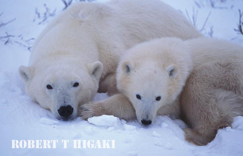 polar bear-30