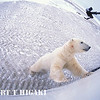 16mm fisheye; I used this picture to show the use of the inverted monopod. So, use a very long remote cable or one of those wireless triggers to shoot the Polar bear at ground level. It's just an idea for those who are considering doing this trip.