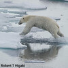 Polar bears can jump.