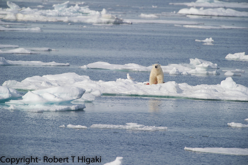 It is hard to see in this shot: the male is standing over a dead Polar bear cub.