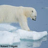 I needed a video here; this bear was pouncing up and down on the ice; He was wanted to grab a seal