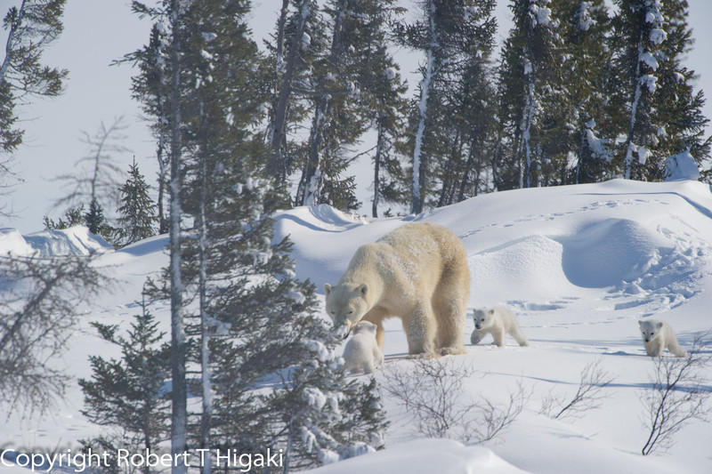 """Mother heard and headed back with """"Moe"""" and """"Larry"""" <br /> """"Curly' reunites with the rest of the family; WoobWoobWoobWoob!<br /> <br /> (on a serious note: the cub did get lost. The distress call was very similar to what I had heard from a year old cub at Cape Churchill-different trip)"""