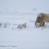 Two days later, Mother and cubs already left their den in their slow trek to Hudson Bay.