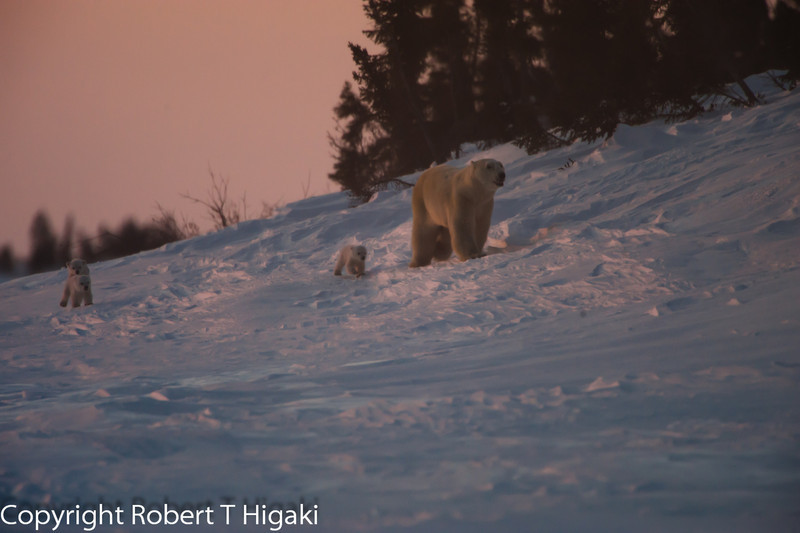 This is true light here as the sun was setting. Mother taking her cubs for a walk around the den.