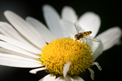 Hoverfly | Schwebfliege