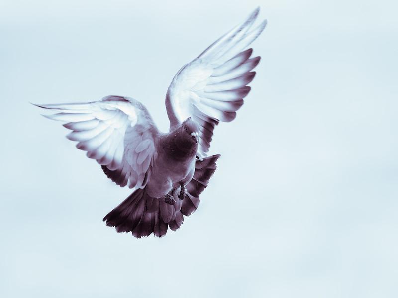 Pigeon | Taube