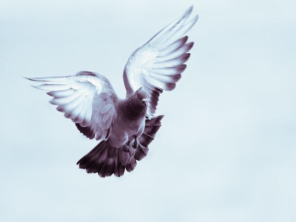 Pigeon   Taube