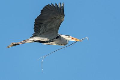 Grey Heron | Graureiher