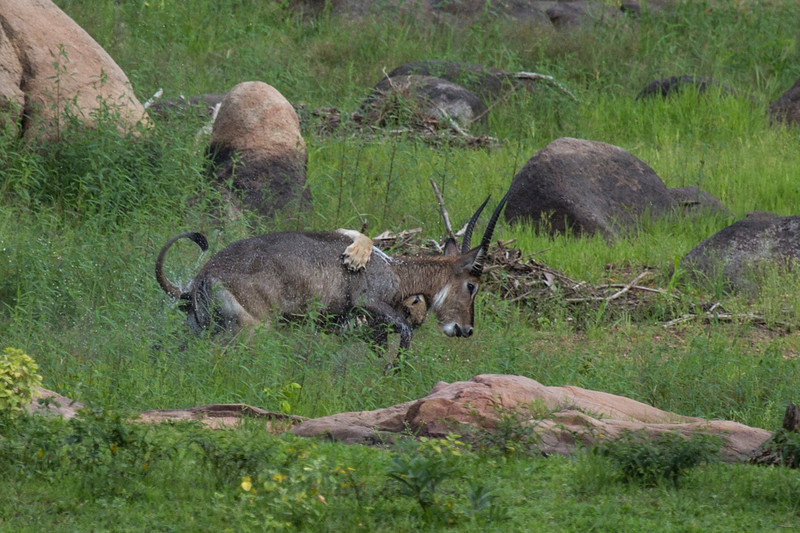 Lion killing a waterbuck in Tanzania, Africa.