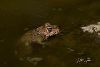 Iberian Water Frog, Cala Mijas