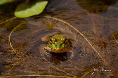 Marsh Frog, Kumaracom