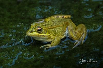 Iberian Green Frog, Majorca
