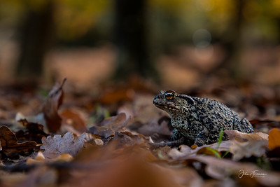 Common Toad, New Forest