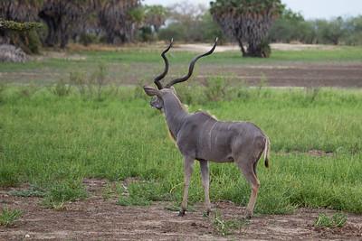 Greater Kudu, Selous