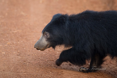 Sloth Bear, Wilpattu