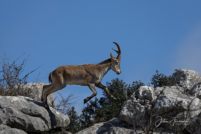 Spanish Ibex, El Torcal