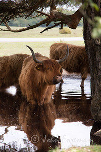 Highland cattle, New Forest
