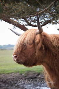 Highland cow, New Forest