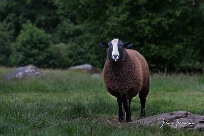 Zwartbles Sheep, Gwynedd