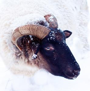 Snowy ram